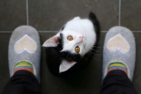 Cute black and white kitten is sitting between my feet and looking up to me