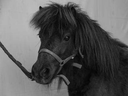 purebreed: purebreed portrait of Shetland pony