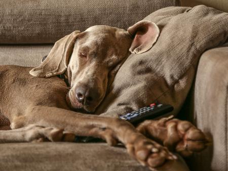 purebreed: Weimaraner dog sleeping purebreed Stock Photo