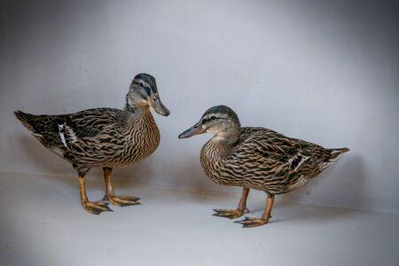 neutral background: portrait of two female mallards ducks in neutral background