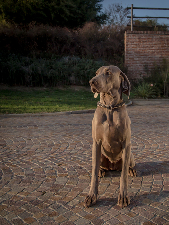 pure breed: portrait of a seated isolated pure breed weimaraner dog whit rustic country background Stock Photo
