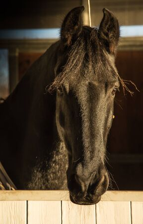 well head: portrait of well bred Frisian horse head coming out of the barn