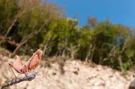 Europena dwarf mantis (Ameles spallanzania) in its habitat, Italy. Reklamní fotografie