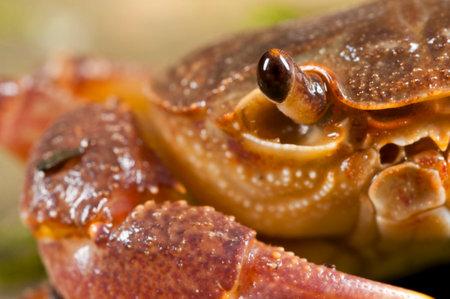 Freshwater crab (Potamon fluviatile) portrait, Tuscany, Italy.