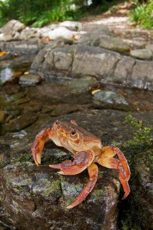 Freshwater crab (Potamon fluviatile) in its habitat, Tuscany, Italy. Reklamní fotografie