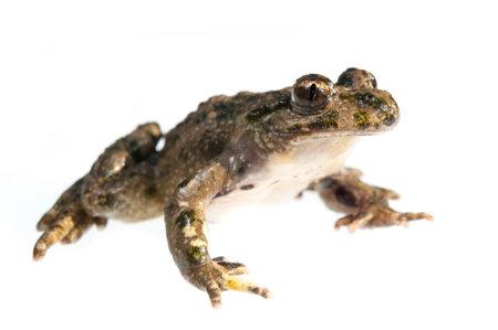Parsley frog (Pelodytes punctatus) on white background, Italy.