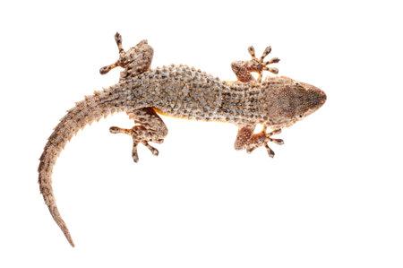 Common wall gecko (Tarentola mauritanica) on white background, Italy.