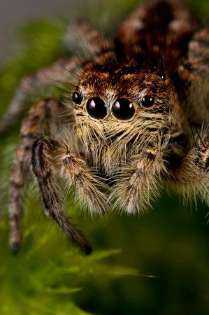 Jumping spider (Philaeus chrysops) female, Italian alps.