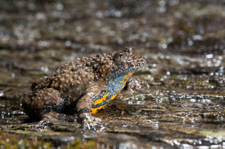 Apennine yellow-bellied toad (Bombina pachypus), Italy.