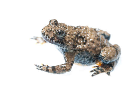 Apennine yellow-bellied toad (Bombina pachypus) on white background, Liguria, Italy.