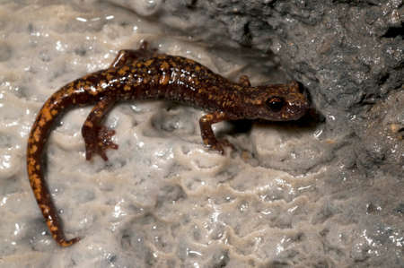 North-west italian cave slamander (Hydromantes strinatii) in a cave in the Apennine mountains, Italy.