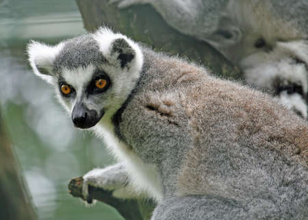 watchful: lemur with a watchful eye for food