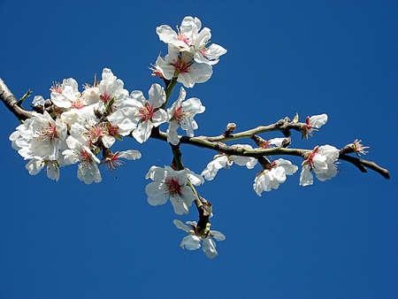 flor de durazno: Cerezo blanco sobre una rama sólo floreció en mayo