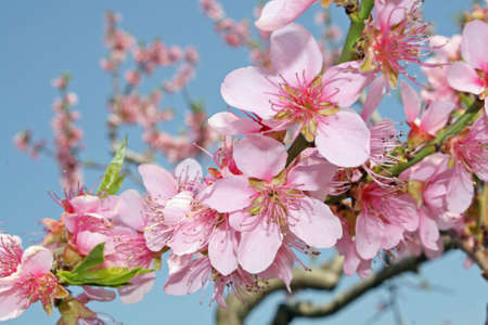 peaches: pink peach flowers bloom in spring in the Italian hills  Stock Photo