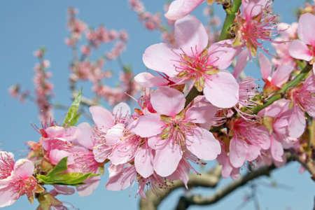 Rosa Pfirsich Blumen bl�hen im Fr�hjahr in den italienischen H�geln