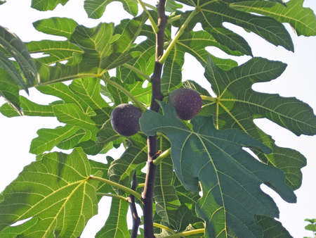 adam: large green leaves of a fig tree with two fruits
