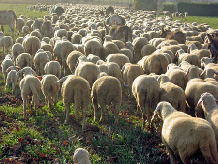 flock of sheep grazing on the lawn photo