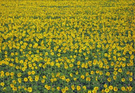 Pré fleuri avec beaucoup de tournesol jaune au printemps  Banque d'images - 9363589