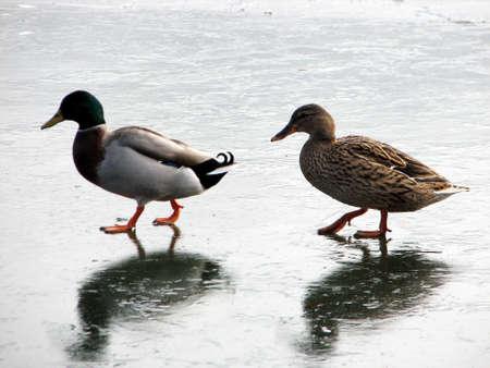 ducks walking on the frozen lake in winter Stock Photo - 9699379
