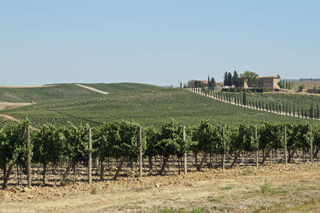 agriturismo: vineyards with many bunches of grapes in the hills