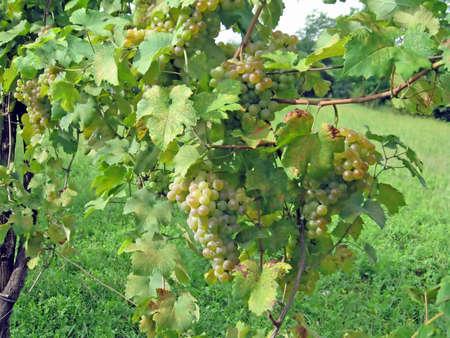 transformed: mont�n de uvas deliciosas listas para ser transformado en vino Foto de archivo