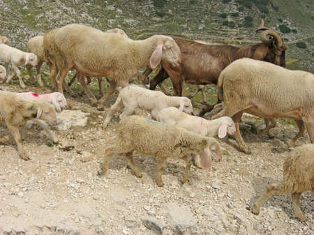 flock of sheep with white lambs and goats  photo