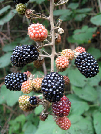 red and black berries and raspberries in the middle of a bramble bush of mountain photo