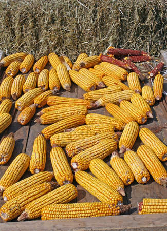 starchy food: bunch of yellow corn after harvest of the farmer in his field