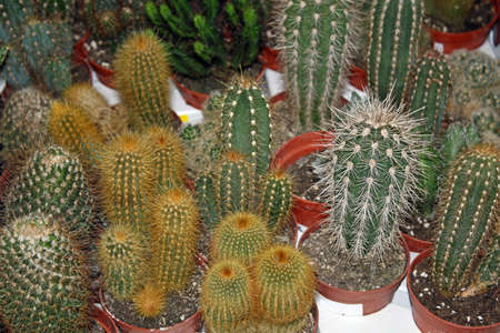 pungent: series of pungent cactus for sale in a greenhouse in winter Stock Photo