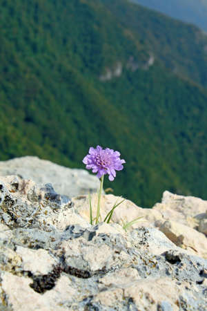 purple flower on the edge of a ravine in the mountains and the panorama photo