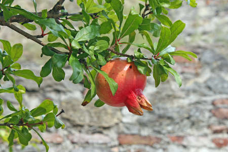 Pomegranate red with green leaves in autumn on the plant photo