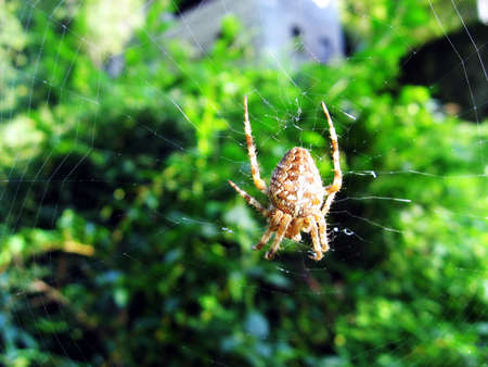 entrap: a spider waiting on a thin web with green background  Stock Photo