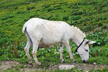 white baby donkey and a graze in the mountains  photo