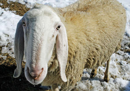 sheep grazing in the mountains in the snow in search of grass to eat photo