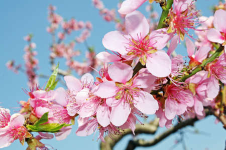 pink peach flowers bloom in spring in the Italian hills  Stock Photo