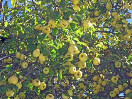 tree laden with yellow delicious apples in the fall photo