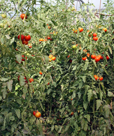 red cherry tomatoes in a greenhouse in Italy photo