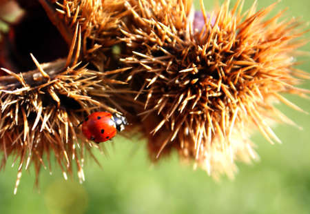 stress testing: Ladybug red with black dots above a hedgehog of a chestnut brown