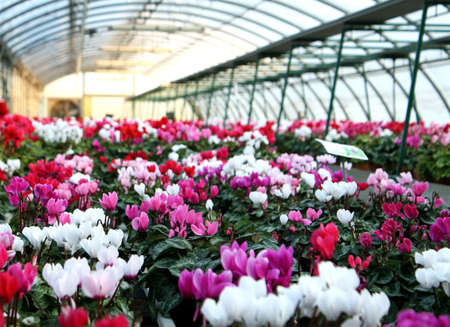 series of vases of flowers violets and cyclamen in a greenhouse in winter   photo