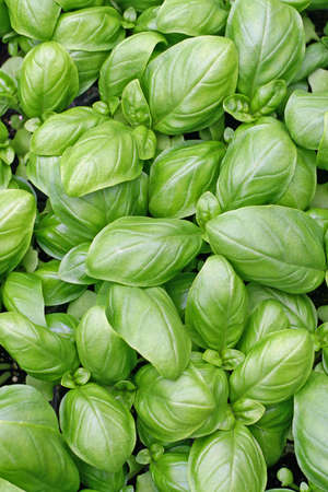 green leaves of fresh basil ready to be used in cooking in Italy photo