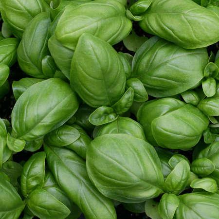 basilico: hojas verdes de albahaca fresca listo para ser usado en la cocina en Italia Foto de archivo