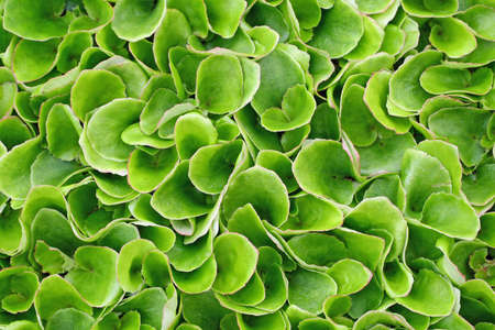 keep growing green leaves of lettuce ready to harvest and season photo