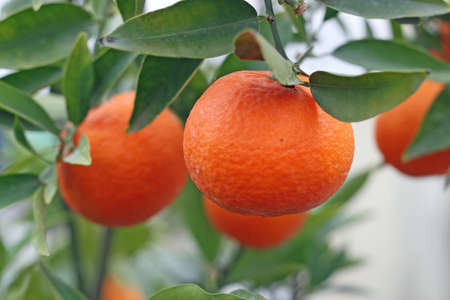 cultivation of citrus fruits of all kinds in a greenhouse in Sicily in Italy photo