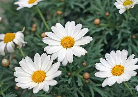 white daisies with yellow pollen with many petals photo