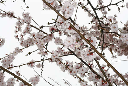 delicate white flowers of an apricot tree in spring Stock Photo - 12869635