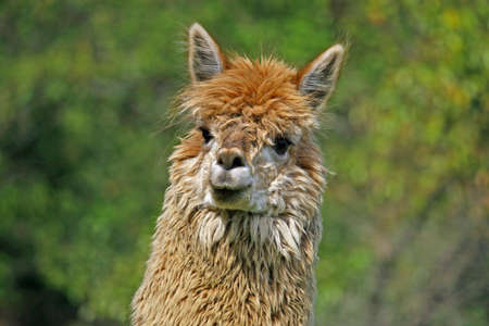 large alpaca with the body covered with soft woolly curls Stock Photo - 13120148