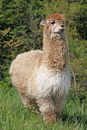 large alpaca with the body covered with soft woolly curls photo