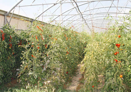 red cherry tomatoes in a greenhouse Stock Photo - 13150217