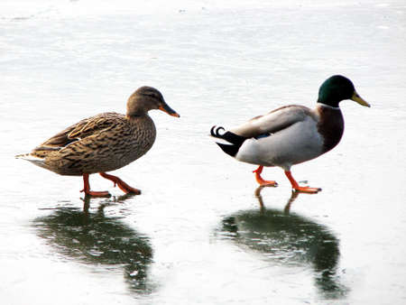 ducks walking on the frozen lake photo