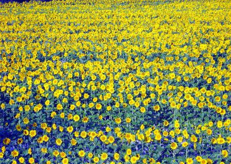 Prairie fleurie avec beaucoup de tournesols au printemps Banque d'images - 13165698